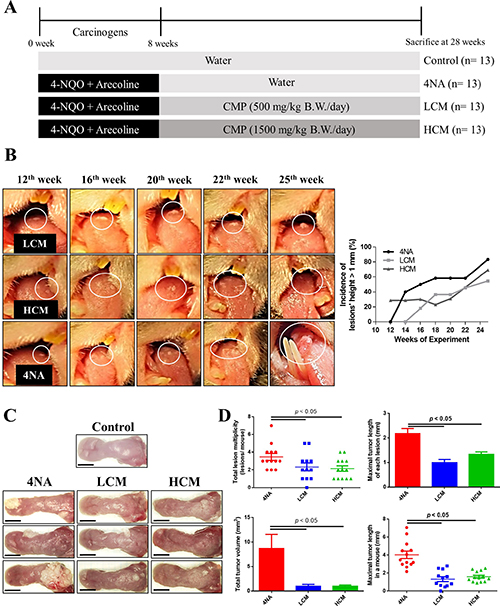 CMP inhibited tumor growth and malignant transformation in the tongue.