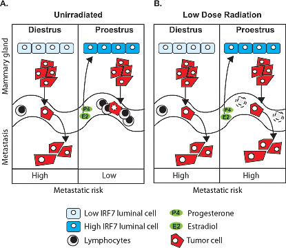 Schematic of estrous-variable and LDIR effects on metastatic risks in mammary tumor susceptible individuals.