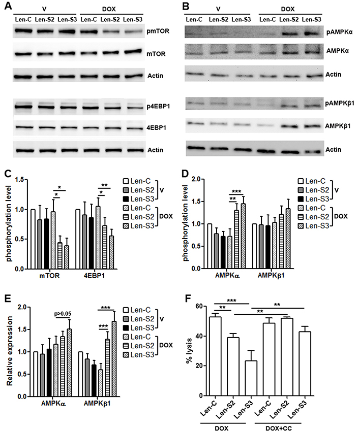 SESN2 and SESN3 expression inhibits mTORC1 signaling and promotes AMPK signaling.