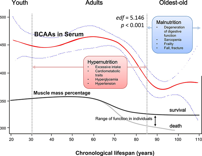 Schematic of a potential hypothesis for the whole-lifespan profile of circulating BCAA levels.