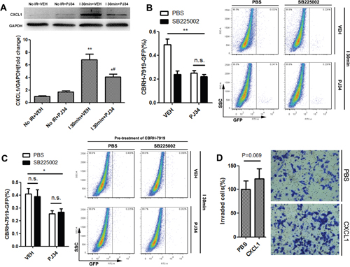 CXCL1/CXCR2 axis was crucial for PARP-1-induced hepatic susceptibility to recurrence after IR injury in mice.