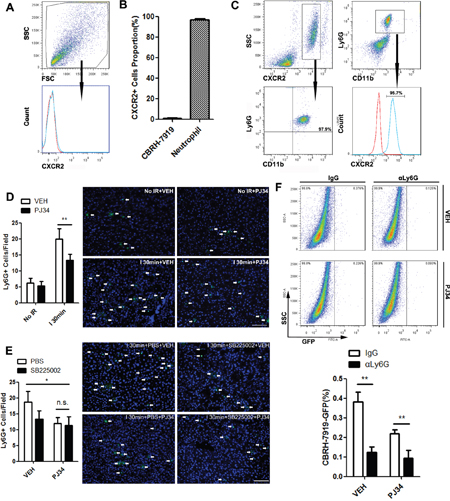 CXCL1-mediated neutrophils recruitment was required for PARP-1-induced hepatic susceptibility to recurrence after IR injury in mice.