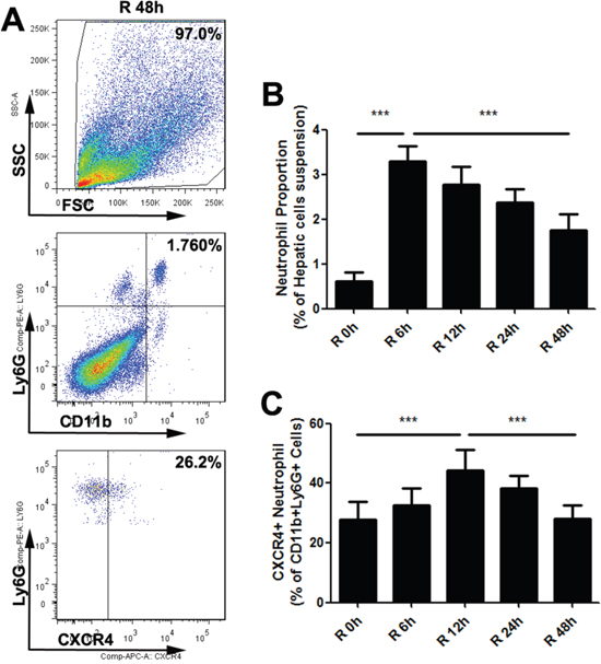 Warm hepatic IR injury altered the proangiogenic neutrophil proportion in mice liver.