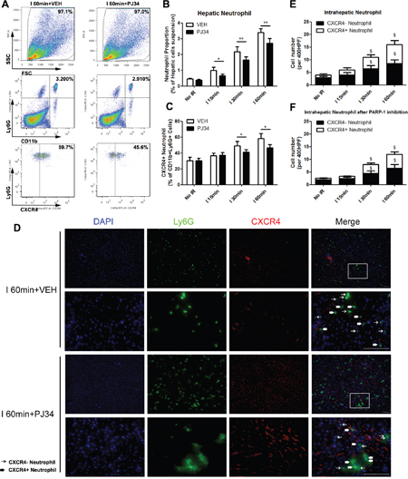 PAPR-1 inhibition decreased the hepatic proangiogenic neutrophil proportion up-regulated by liver IR injury in mice.