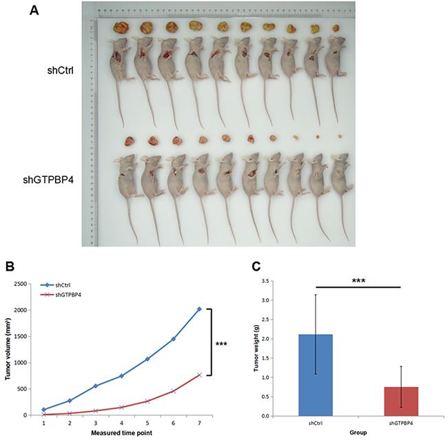 Knockdown of GTPBP4 inhibited tumorigenesis in vivo.