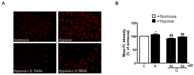 Effect of G on hypoxia-induced mitochondrial O2- production.