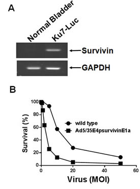 Tumor growth suppression mediated by Ad5/35E1apsurvivinE4.
