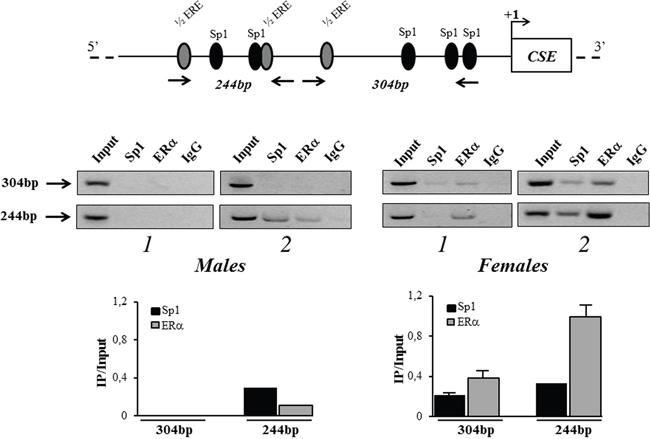 in vivo recruitment of ERα to CSE gene promoter.