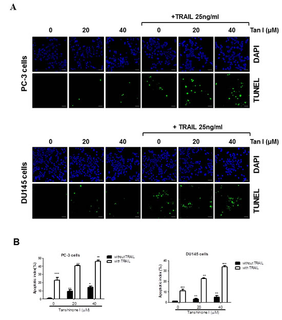 Fig 2: Tanshinone I regulates apoptotic proteins, generates ROS production in TRAIL treated PC-3 cells.