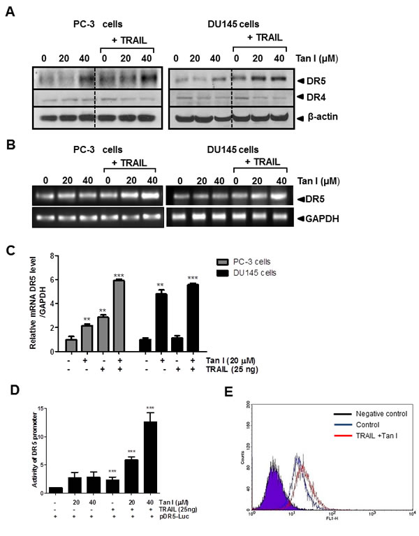 Fig 3: Tanshinone I enhances upregulation of DR5 at mRNA and protein levels, activity of DR5 promoter and cell surface expression of DR5 in PC-3 and DU145 cells.