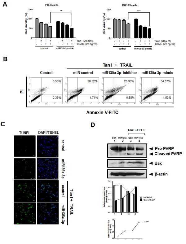 Fig 6: Overexpression of miR135a-3p enhanced cytotoxicity, sub G1 population, the number of TUNEL positive cells, PARP cleavage and Bax in Tanshinone I and TRAIL treated prostate cancer cells.