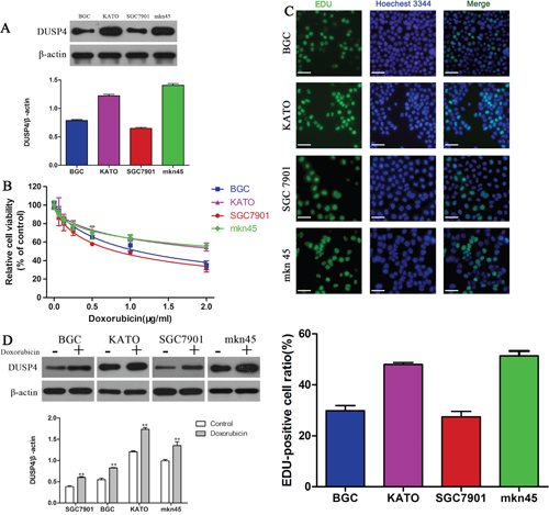 Expression of DUSP4 is associated with DOX resistance in GC cells.
