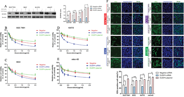 Knockdown of DUSP4 increases the sensitivity of GC cells to DOX.