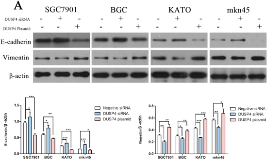 DUSP4 can induce the epithelial-mesenchymal transition (EMT) in GC cell lines.
