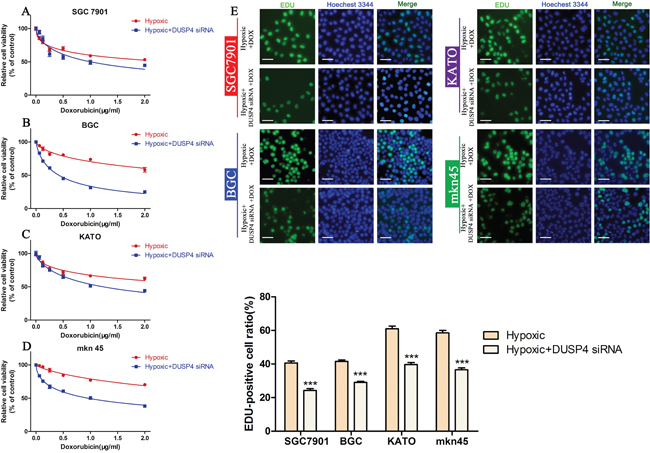 Knocking down DUSP4 reverses hypoxia-induced DOX resistance.