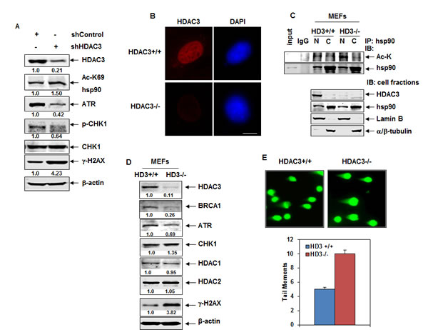 Knockdown of HDAC3 by shRNA or genetic deletion of Hdac3 induces hyperacetylation of nuclear hsp90 and attenuates the expression of ATR.