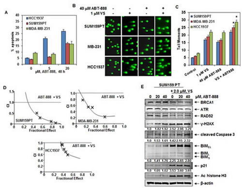 Co-treatment with HDAC inhibitor significantly enhances ABT-888-mediated DNA damage and synergistically induces apoptosis of breast cancer cells.