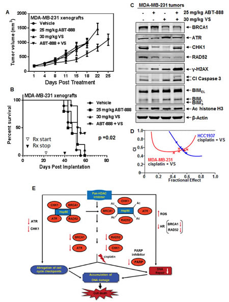 Co-treatment with VS and ABT-888 significantly inhibits tumor growth and improves the survival of NOD/SCID mice bearing MDA-MB-231 xenografts.