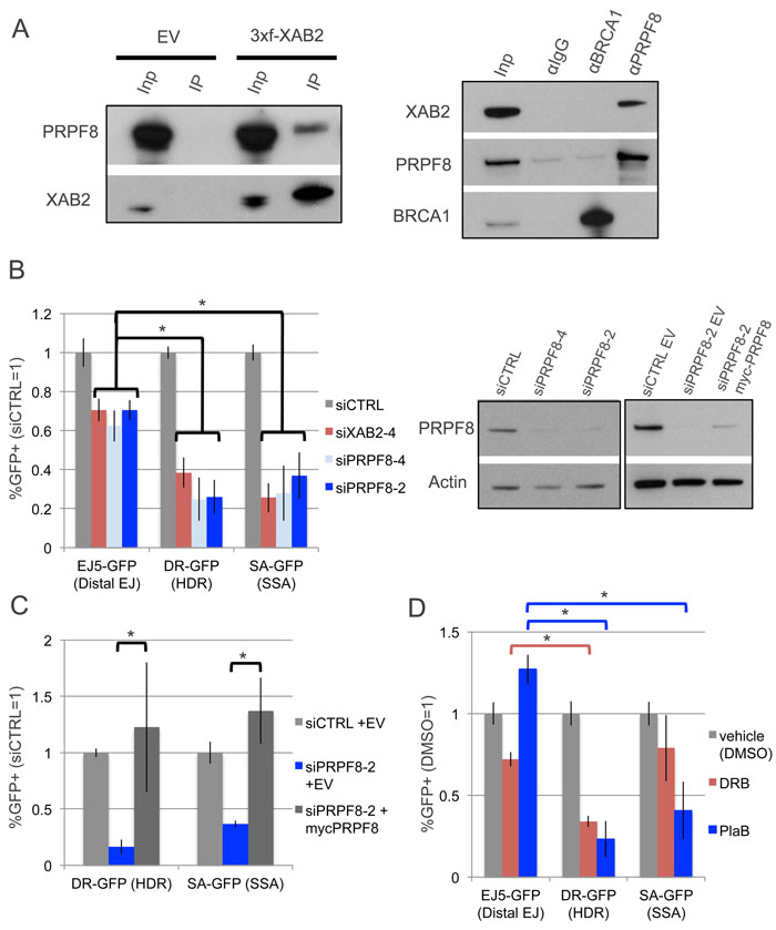 Depletion of PRPF8 and PlaB treatment have a similar effect on HR as XAB2 depletion.