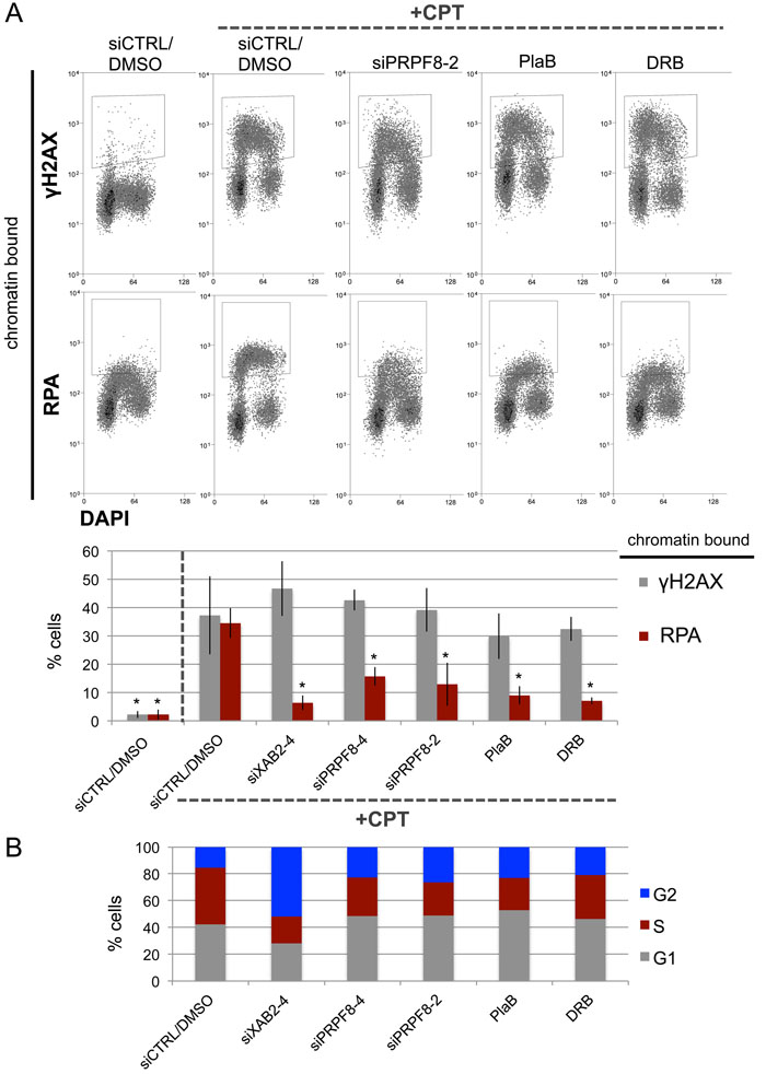 PRPF8 depletion and PlaB treatment cause a reduction end resection as detected by damage-induced chromatin bound RPA.