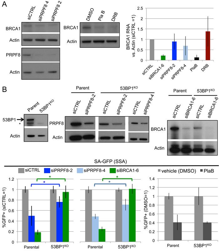 Effects of PRPF8 and PlaB on BRCA1 levels and SSA in 53BP1-deficient cells.