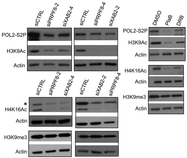 Both PRPF8 depletion and PlaB treatment cause a reduction in H3K9Ac and H4K16Ac, and the latter causes a marked reduction in POL2-S2P.