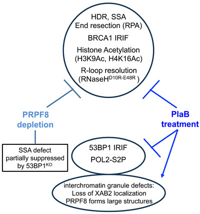 Shown is a summary of the effects of PRPF8 disruption and PlaB treatment on aspects of the DNA damage response and nuclear organization.
