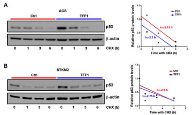 TFF1 expression does not promote p53 protein stability in gastric cancer cells.