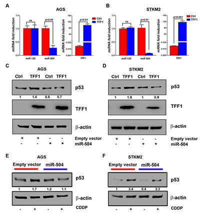 TFF1 activates p53 through down-regulation of miR504 expression.