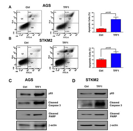 TFF1 induces apoptosis through activation of p53.