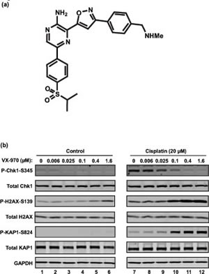 VX-970 is a potent and selective inhibitor of ATR.