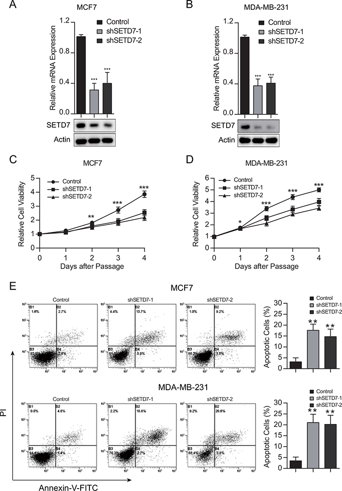 SETD7 promotes cell growth and survival.