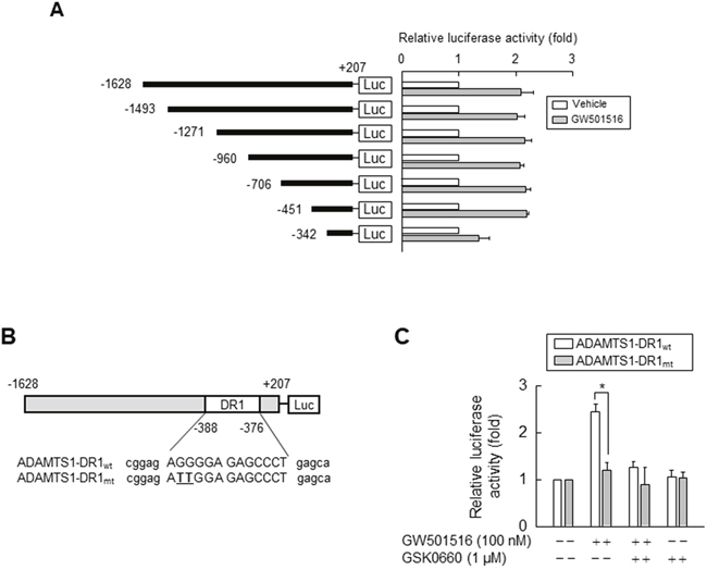 Activating PPARδ increases ADAMTS1 promoter activity via the PPRE site.
