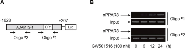 PPARδ associates physically with the PPRE within the ADAMTS1 promoter in MDA-MB-231 cells.