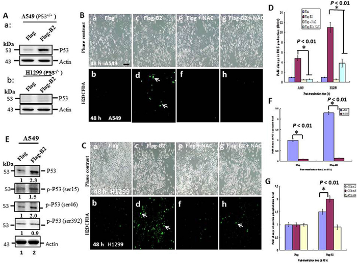Targeting of B2 protein to mitochondria induces stronger ROS production in H1299 cells than A549 cells.