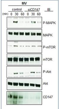 Downregulation of MV CD147 effect on signaling pathways.