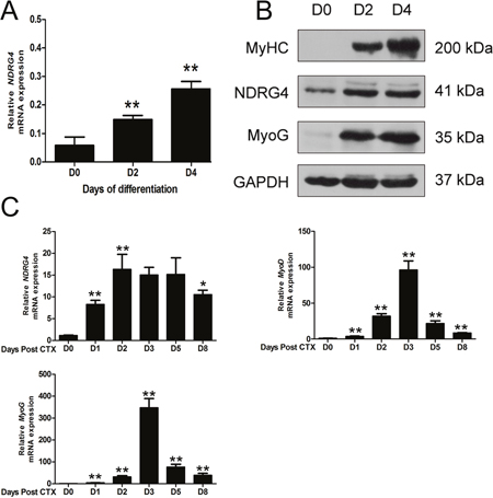 N-Myc downstream-regulated gene 4 (NDRG4) expression levels are increased during myoblast differentiation and muscle regeneration.