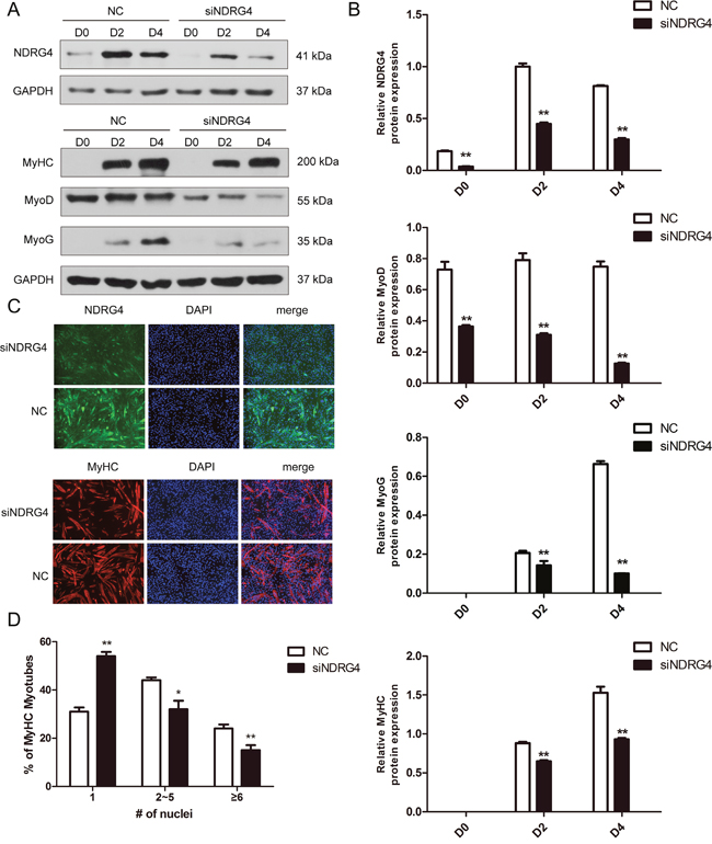 Knockdown of NDRG4 inhibits myogenic differentiation.