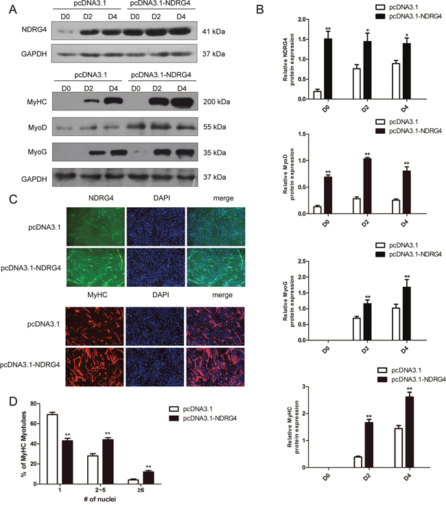Overexpression of NDRG4 enhances myogenic differentiation.