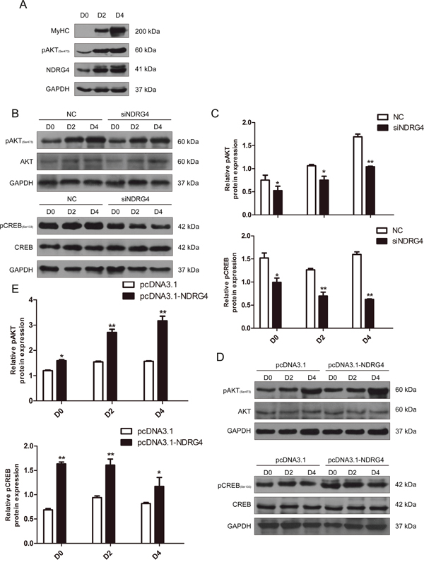 NDRG4 activates the Akt/CREB pathway during myoblast differentiation.