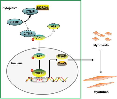 Proposed pathway model for NDRG4 involved in myoblast differentiation.