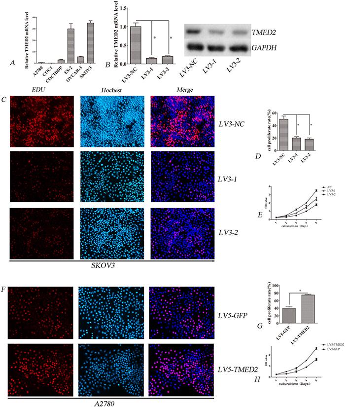 TMED2 regulates cellular proliferation.