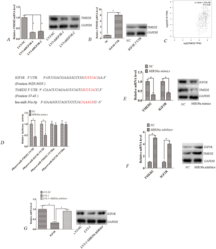 TMED2 regulates IGF1R mRNA and protein levels.