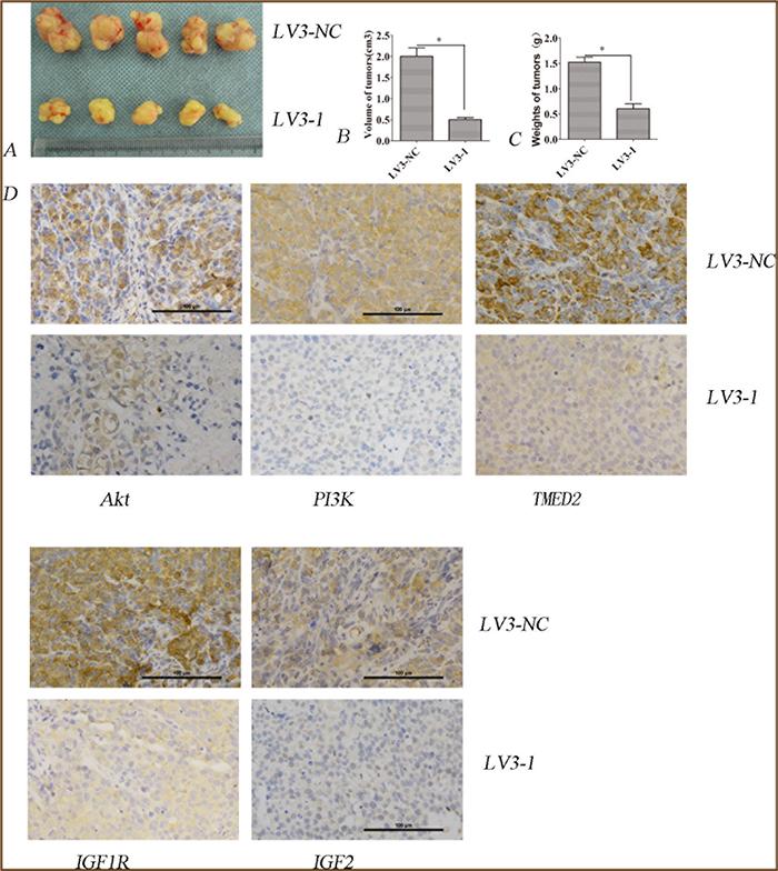 TMED2 regulated tumorigenesis in nude mice model.