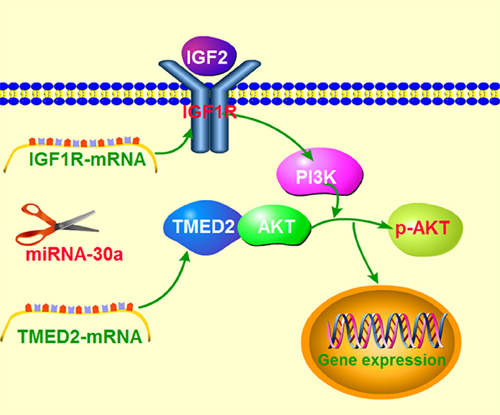Schematic model demonstrating TMED2 function in ovarian cancer and potential mechanisms.