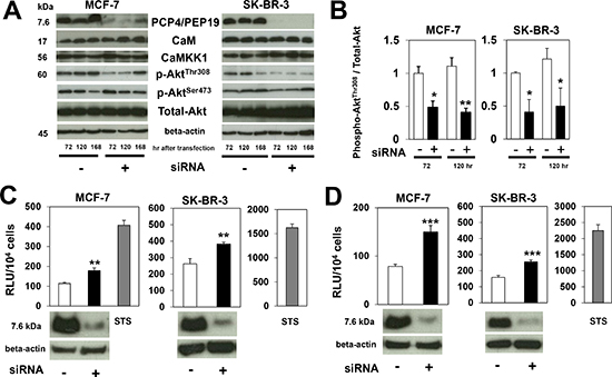 Expression of CaM, CaMKK1 and Akt, and caspase activities after PCP4/PEP19 knockdown.