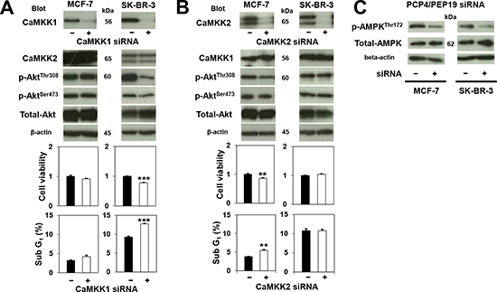 Effects of CaMKK knockdown on Akt and AMPK phosphorylation and cancer cell survival.