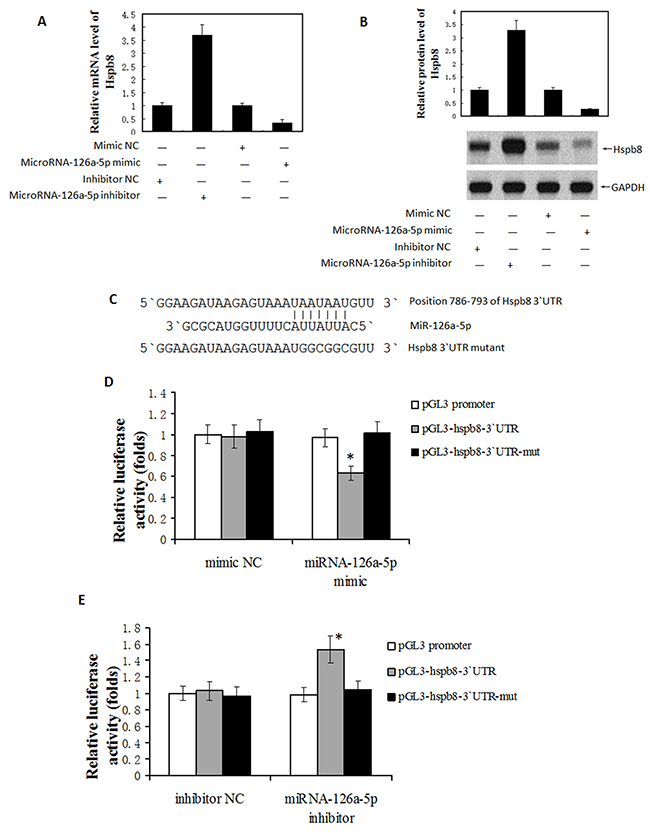 MicroRNA-126a-5p downregulated Hspb8 expression by binding to its 3′-untranslated region (3`UTR).