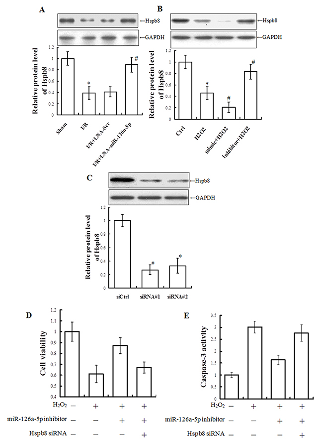 Hspb8 siRNA inhibited microRNA-126a-5p inhibitor-mediated protection against H2O2-induced injury in H9C2 cells.