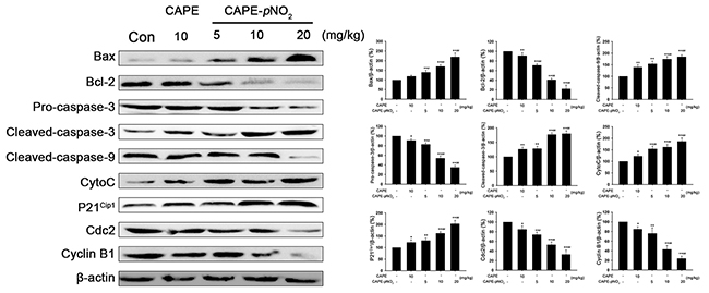 CAPE and CAPE-pNO2 induced G2/M-phase arrests in HeLa cells.